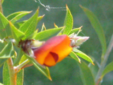 Pultenaea reticulata