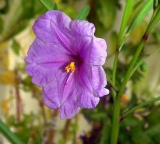Solanum symonii
