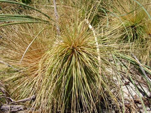 Spinifex longifolius