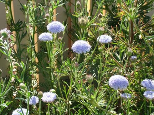 Rottnest Island Daisy Blue Lace Flower Trachymene coerulea