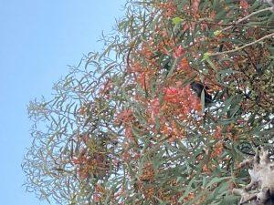 Wattlebird in a Eucalyptus tree